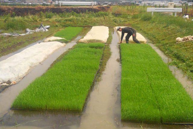 EAsT135 稲に不織布をかける
