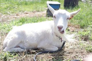 EAsT135 ヤギのぼたんちゃんは今回はお留守番。