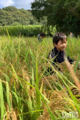 稲に埋もれます