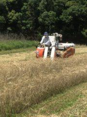 神戸クラフトビールの雄「In tha door」とともに麦を刈る。