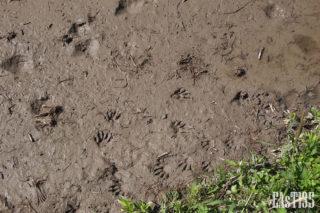 アライグマの足跡?
