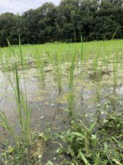 田んぼにも雑草は生えます