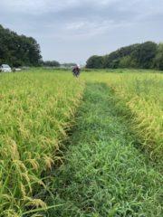 有機栽培のお米が実ってきた!