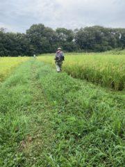 有機米ができるまではひたすら雑草仮刈り!