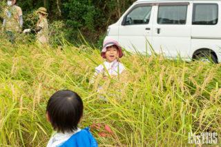稲も背丈を超えるよ!