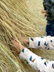稲わらを触って楽しめます